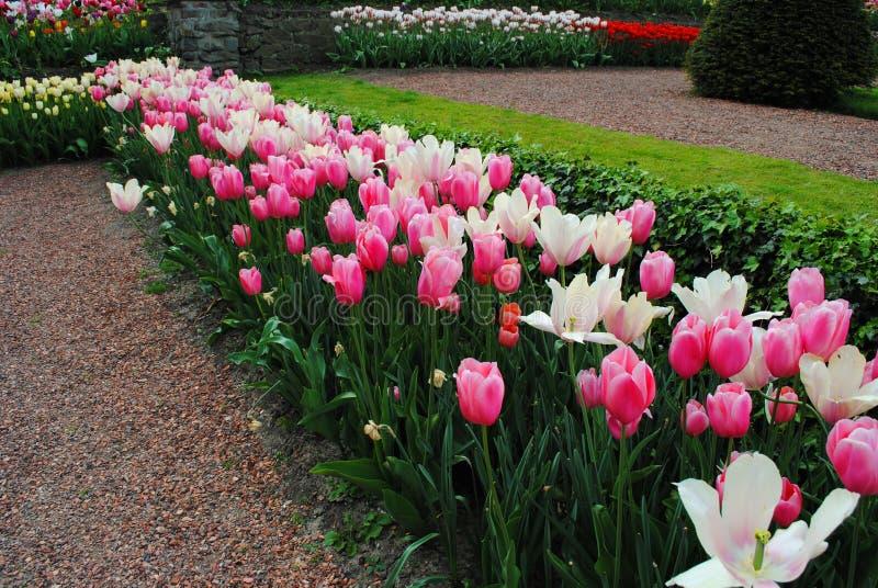 La radura con i tulipani bianchi e rosa nei fiori dei Paesi Bassi parcheggia fotografie stock