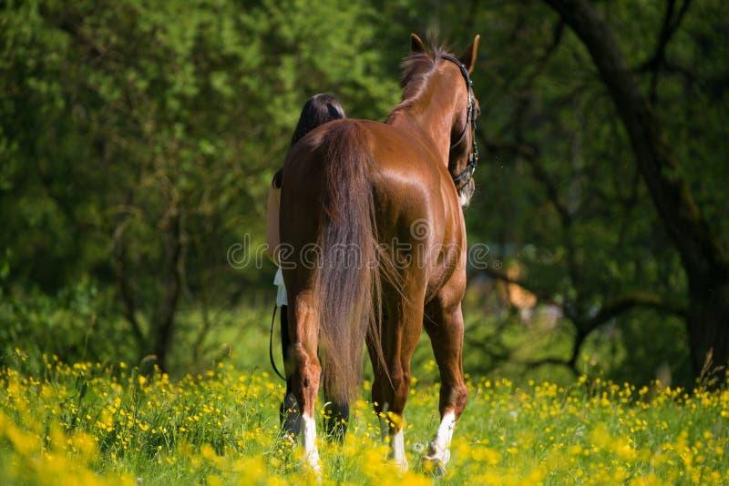 La ragazza conduce un cavallo di sangue caldo fotografia stock libera da diritti