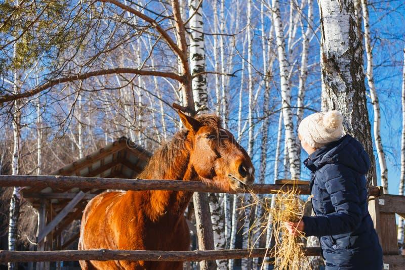 La ragazza dà il fieno del cavallo con le mani tese immagine stock libera da diritti