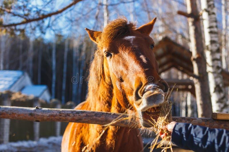 La ragazza dà il fieno rosso del cavallo con le mani tese immagine stock libera da diritti