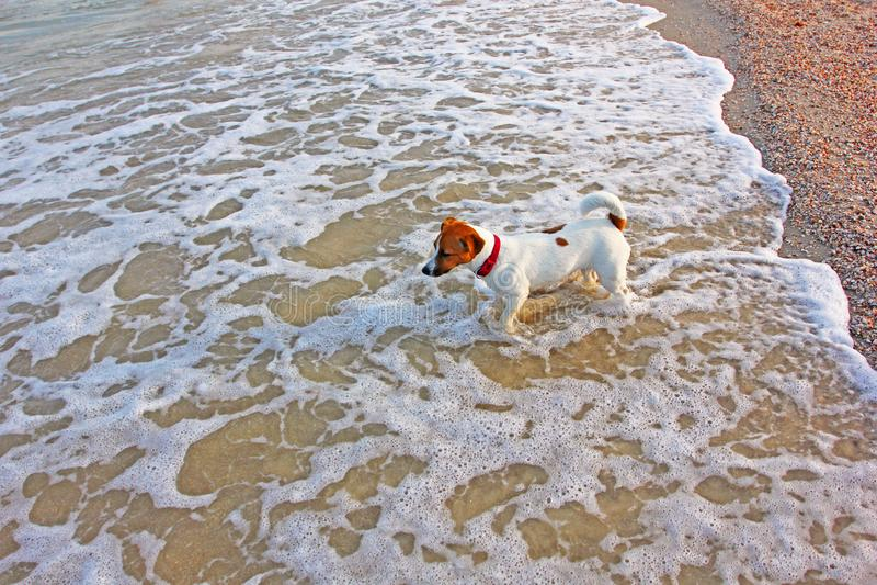 La ragazza del terrier di Jack russell va nuotare nel mare nelle onde immagini stock libere da diritti