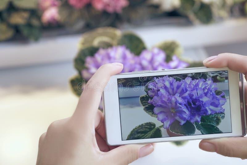 La ragazza fa una foto di una viola in un negozio di fiore Crescita viola come svilupparsi viola immagine stock