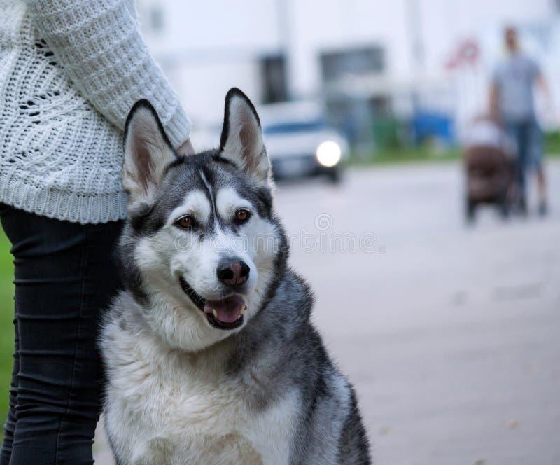 La ragazza in jeans neri ed in un maglione bianco sta stando con una razza del malamute d'Alasca del cane immagine stock