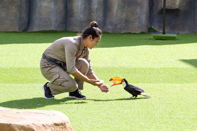 La ragazza l'istruttore degli uccelli con fare inganna il tucano sulla manifestazione i del ` s dell'uccello fotografia stock