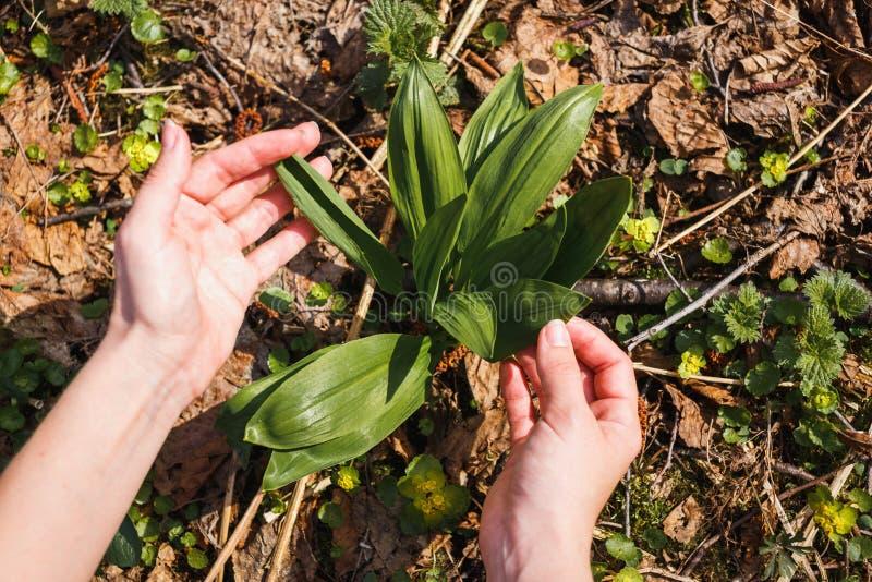 La ragazza raccoglie il primo giovane aglio selvaggio nella foresta fotografia stock libera da diritti