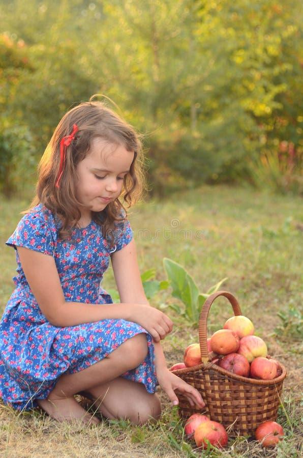 La ragazza raccoglie le mele nel canestro fotografia stock
