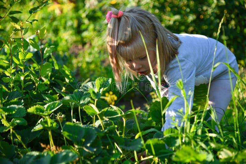 La ragazza seleziona le bacche nel giardino nel villaggio immagine stock