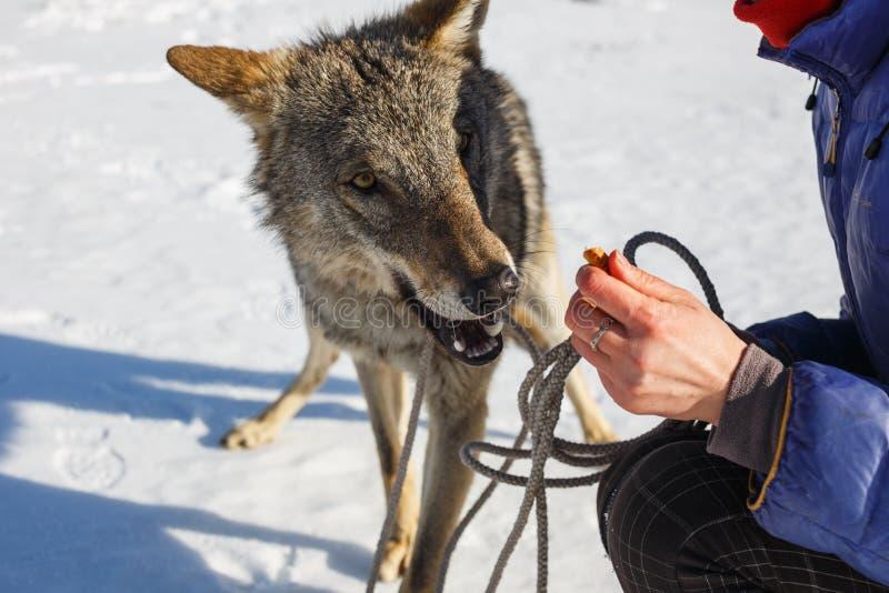 La ragazza si alimenta dalle mani del lupo grigio selvaggio quando ghigna fotografia stock libera da diritti