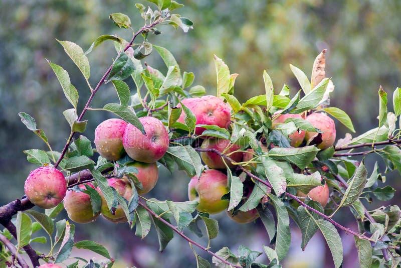 La rama con madurado de manzanas rojas Una cosecha abundante del ap foto de archivo