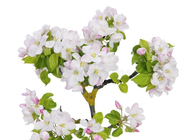 La rama cubierta de musgo del manzano con rosa de la primavera florece foto de archivo
