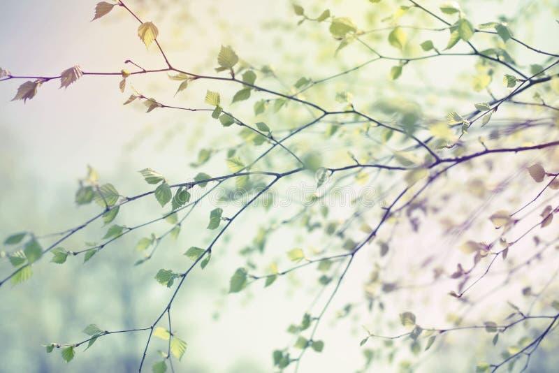 La rama de árbol hermosa de abedul con verde se va en el cielo imagenes de archivo