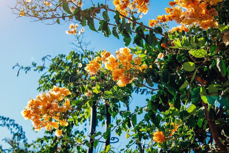La rama de la buganvilla anaranjada florece en fondo del cielo azul foto de archivo