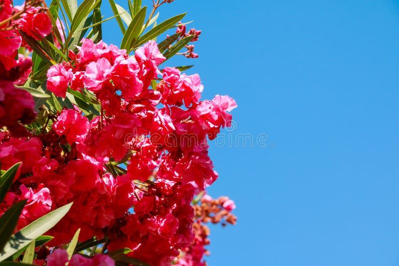 La rama de la buganvilla rosada hermosa florece contra el fondo del cielo azul Flores rosadas Copie el espacio fotos de archivo