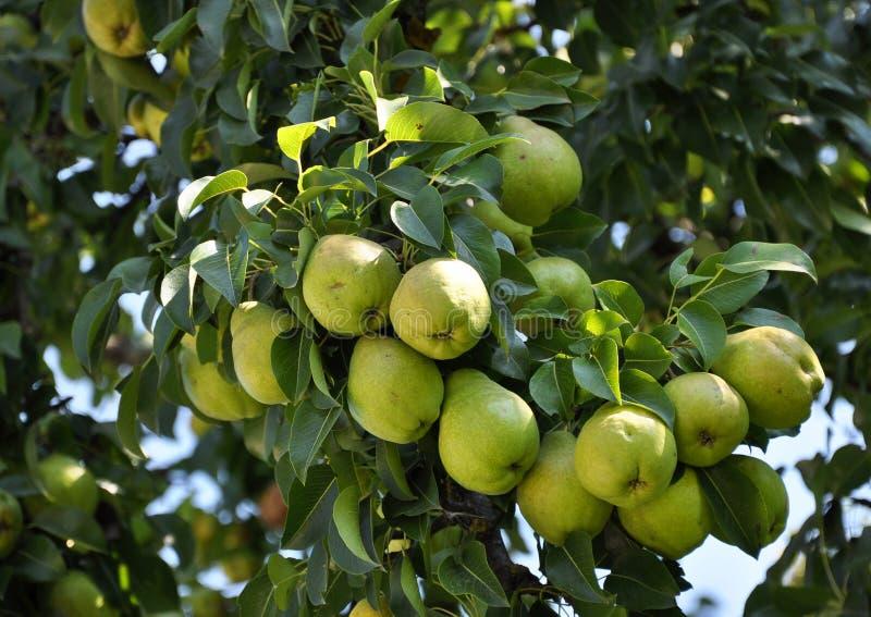La rama de la pera con fruit_4 imagen de archivo libre de regalías