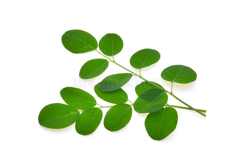 La rama de Moringa verde se va, las hierbas tropicales aisladas en blanco imagen de archivo libre de regalías