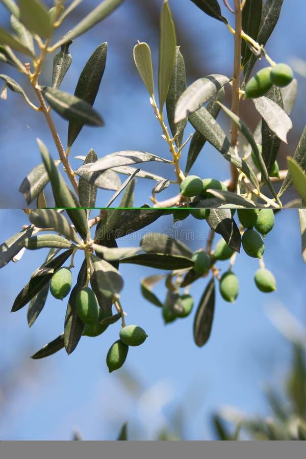 La rama de olivo