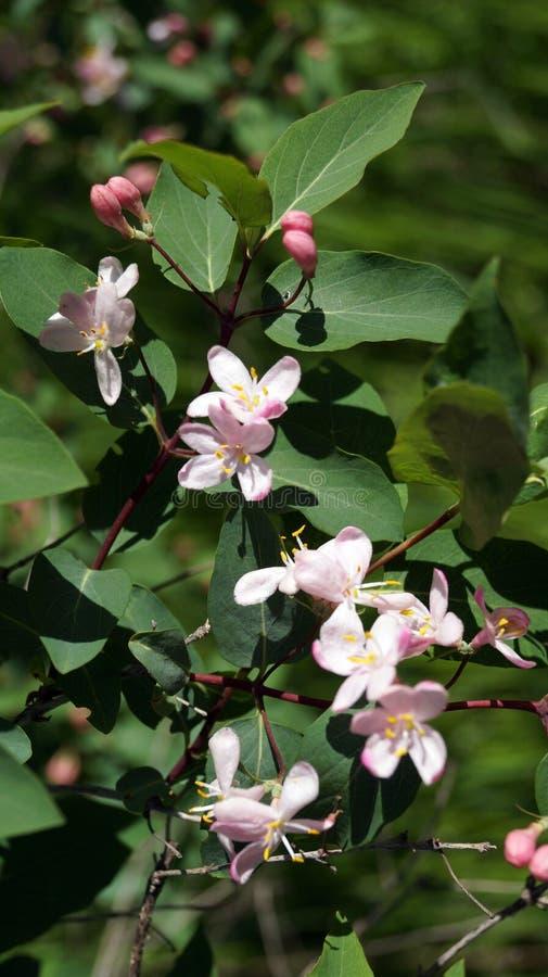 La rama de un arbusto con las peque as flores rosadas foto - Arbusto pequeno con flores ...