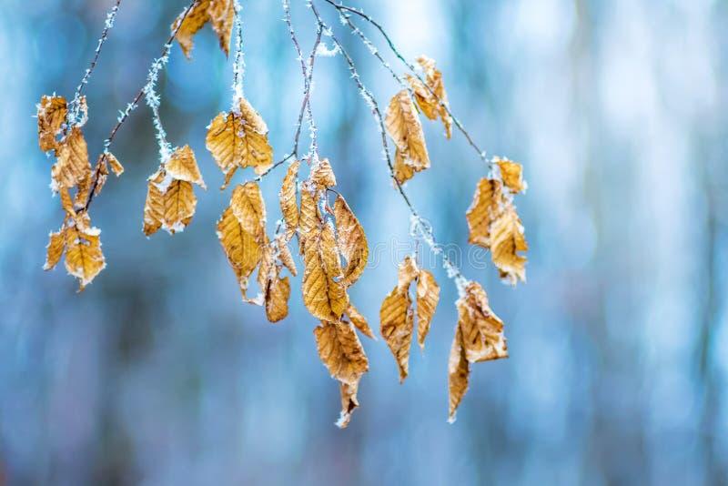La rama de un carpe del árbol con las hojas, cubierta con helada, o imagen de archivo libre de regalías