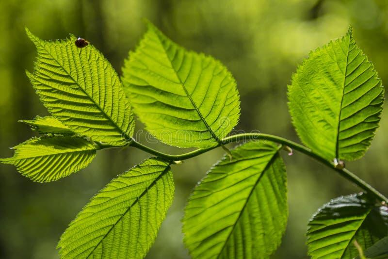 La rama del aliso del árbol con las hojas frescas verdes se cierra para arriba fotos de archivo