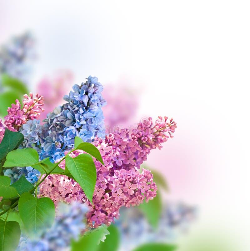 La rama del azul y de la lila rosada foto de archivo