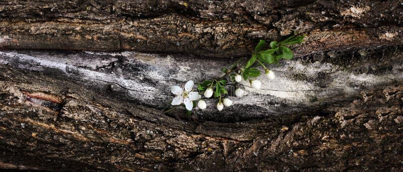 La rama floreciente de la primavera de la cereza florece en una corteza de árbol Dramat foto de archivo