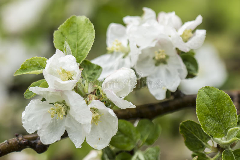 La rama floreciente hermosa del manzano con lluvia cae imágenes de archivo libres de regalías