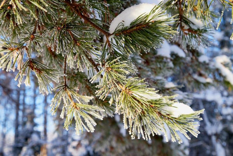 La rama verde de comi? en un bosque nevoso en un d?a de invierno imágenes de archivo libres de regalías