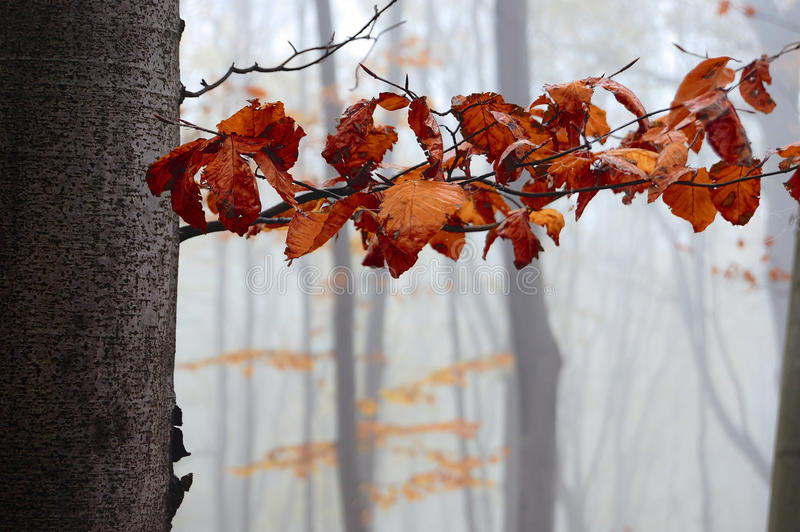 La ramificación del hornbeam con las hojas de otoño fotos de archivo libres de regalías