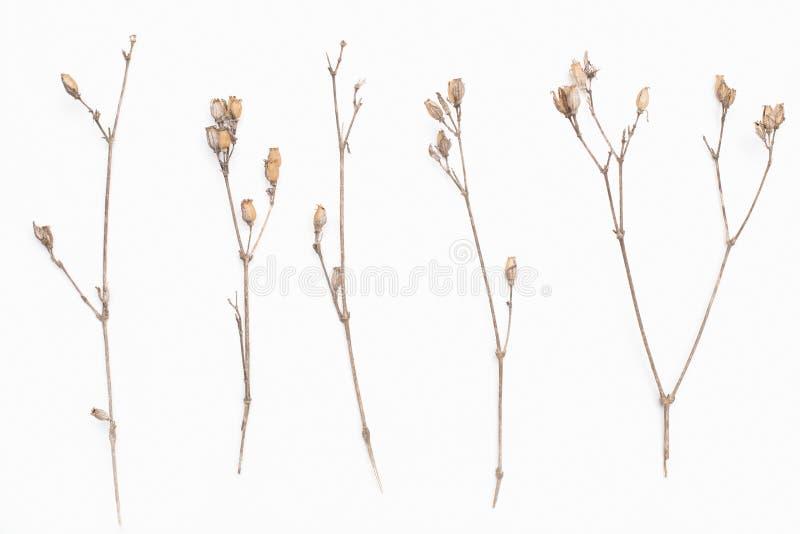 La ramita marrón abstracta del arbusto secado con las pequeñas semillas abiertas de las cápsulas, flores, aisló elementos en el f foto de archivo