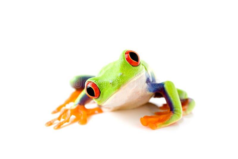 La rana è curiosa immagine stock