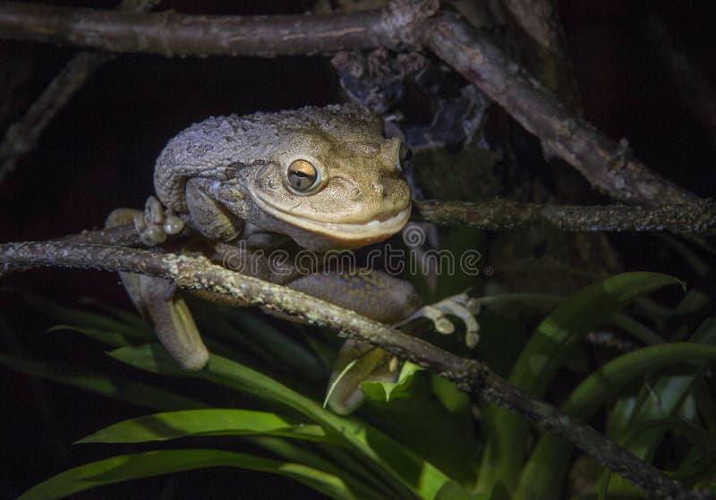 La rana arbórea cubana más grande del mundo en la noche La rana arbórea cubana (septentrionalis de Osteopilus) imagen de archivo