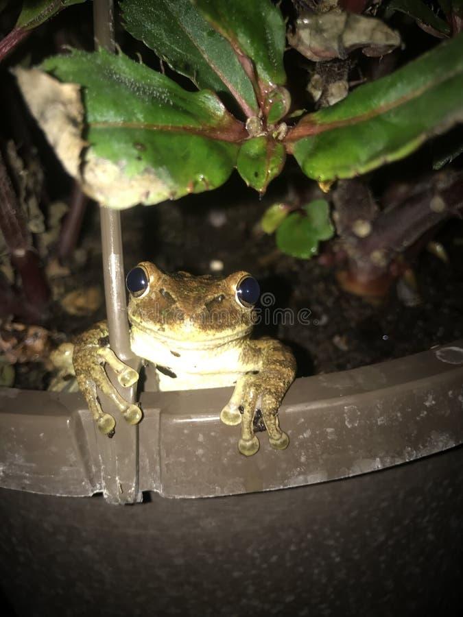 La rana arbórea cubana sonriente presenta para la foto fotografía de archivo libre de regalías