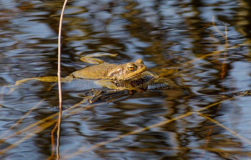La rana común nada en el río imagen de archivo