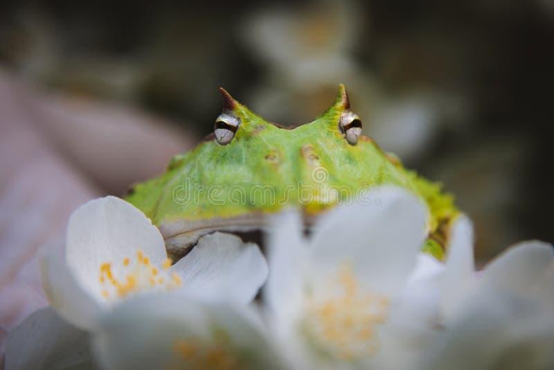 La rana cornuta del Surinam con il cespuglio del fiore di philadelphus fotografie stock