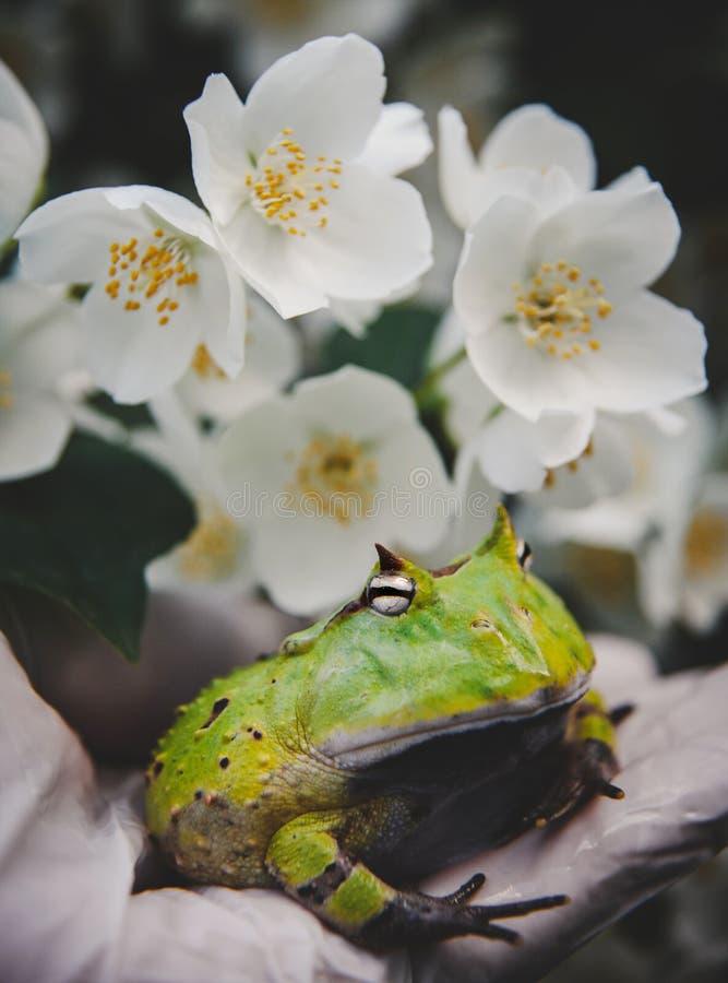 La rana cornuta del Surinam con il cespuglio del fiore di philadelphus immagine stock libera da diritti
