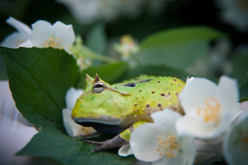 La rana cornuta del Surinam con il cespuglio del fiore di philadelphus fotografia stock