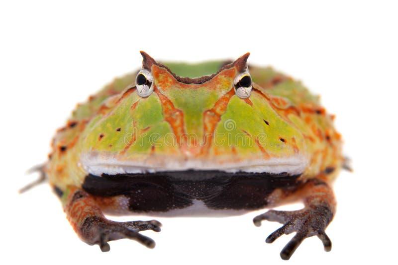 La rana cornuta del Surinam isolata su bianco immagine stock libera da diritti