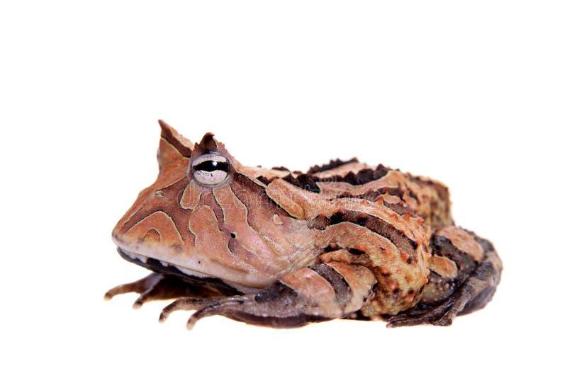 La rana cornuta del Surinam isolata su bianco fotografie stock