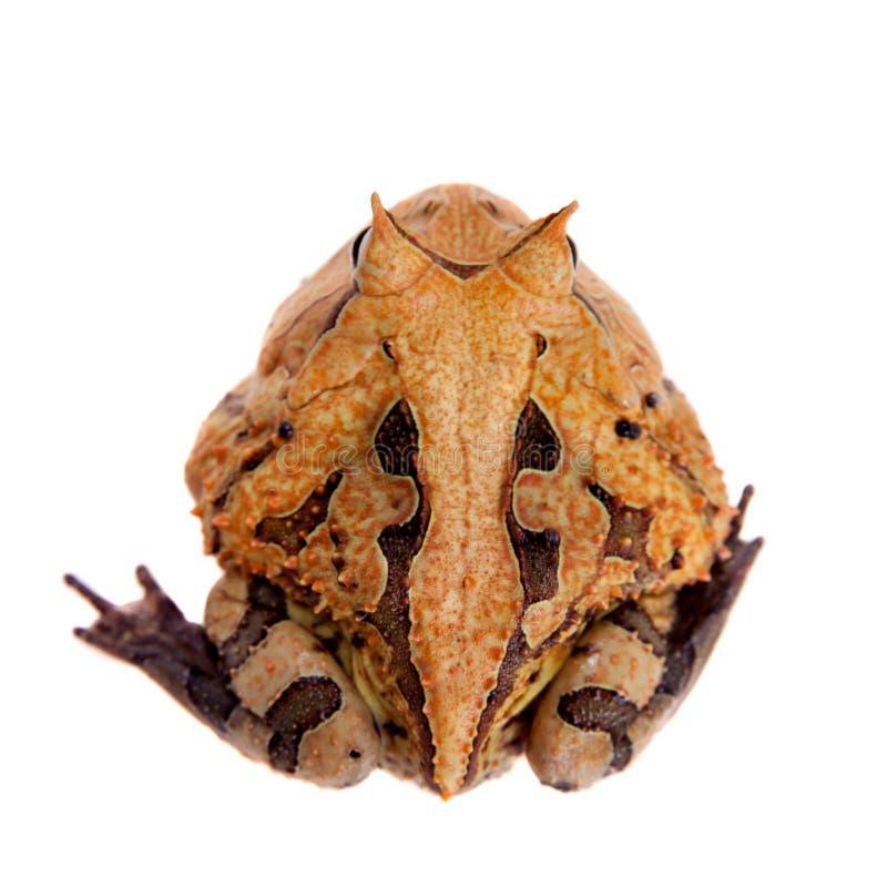 La rana cornuta del Surinam isolata su bianco immagine stock