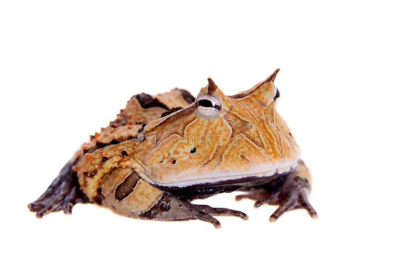 La rana cornuta del Surinam isolata su bianco fotografia stock