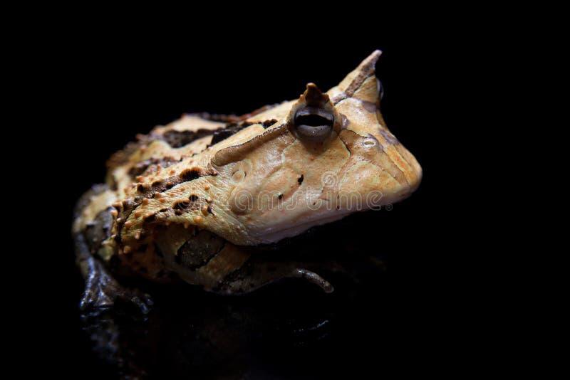 La rana cornuta del Surinam isolata sul nero immagini stock libere da diritti