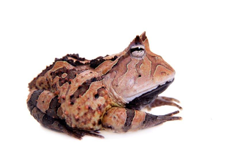 La rana cornuta del Surinam su bianco fotografia stock