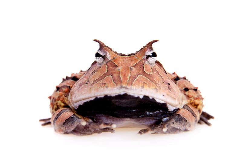 La rana cornuta del Surinam su bianco immagine stock libera da diritti