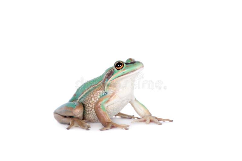 La rana de la campana verde y de oro en blanco imagen de archivo