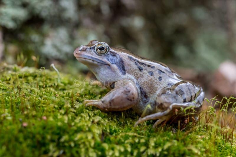 La rana del amarrar - arvalis del Rana imagen de archivo libre de regalías