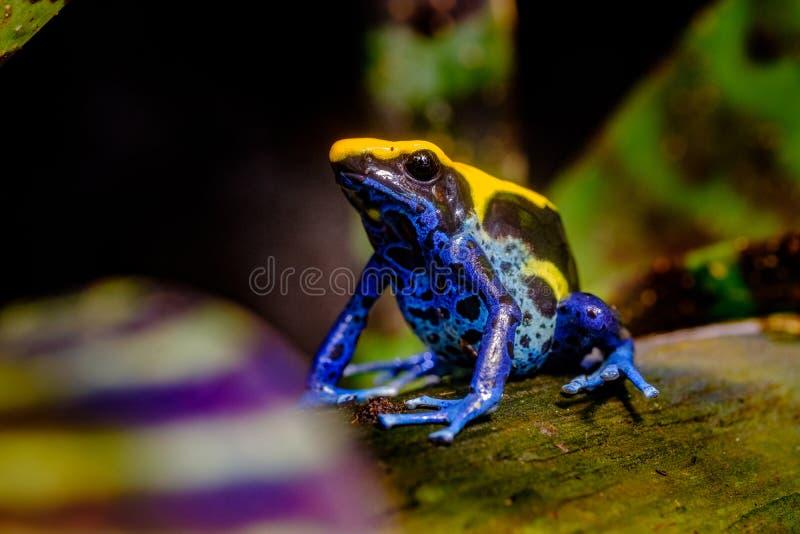 La rana di tintura del dardo, giallo, blu nero fotografie stock