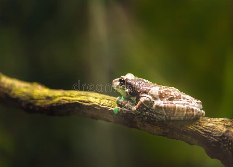 La rana marrón grande se sienta en una rama y toma el sol en la luz del sol fotografía de archivo