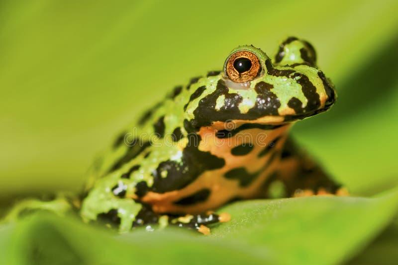 La rana Oriental fuego-hinchó los orientalis del Bombina del sapo que se sentaban en la hoja verde imagen de archivo