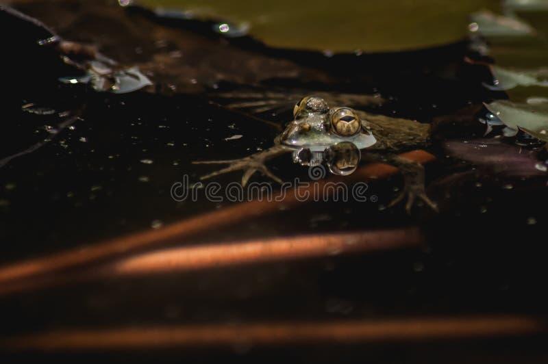 La rana sta galleggiando intorno fotografia stock