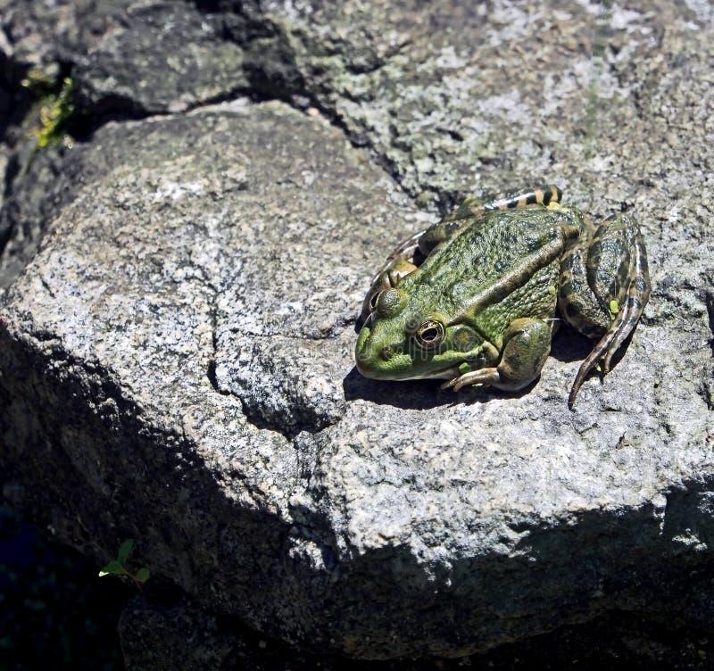 La rana verde prende il sole al sole su una pietra immagine stock